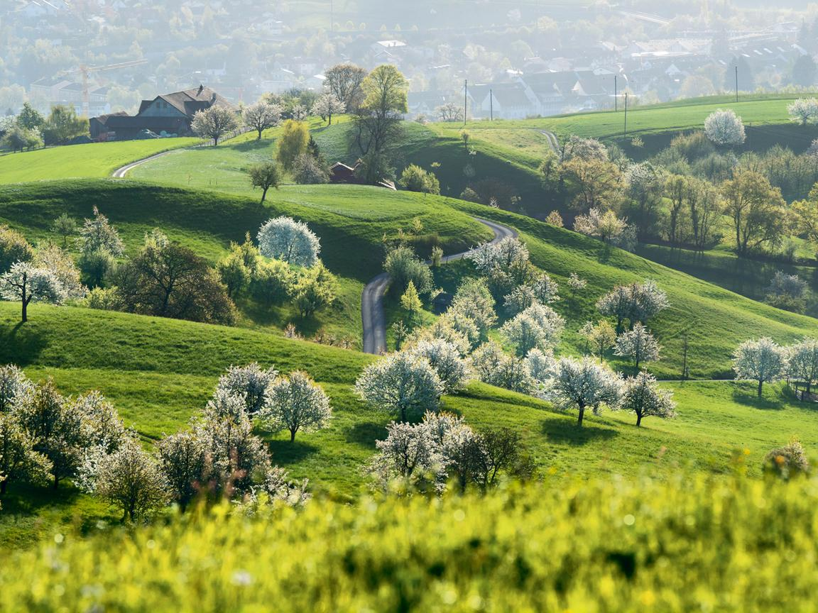 Green hilly landscape with blossoming cherry trees