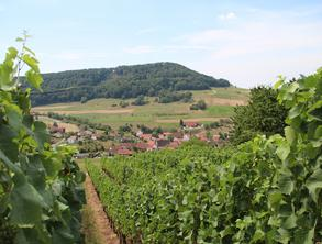 A vineyard overlooking a village, with trees visible on a hill in the background