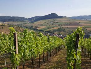 Vines with a green hilly landscape in the background